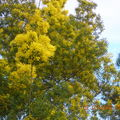 mimosas Bègles ce debut mars