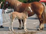 Happy de Terwan (AraboBoulonnais) par Barok du Vallois (Arabe) et Silvia du Marais - 20 Juin 207 - Concours élevage local - Thérouanne (62)