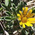Astérisque maritime • Odontospermum maritimum • Asteraceae