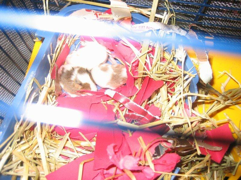 Les bébés souris ont des poils, ils ressemblent à des adultes miniatures