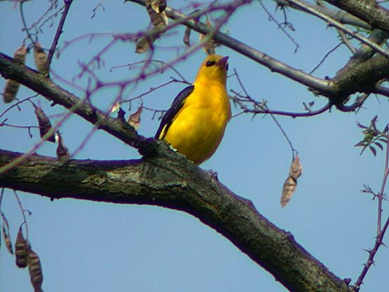Chant de l 39 oriole d 39 or golden oriolus amour troubadour for Oiseau jaune et noir france