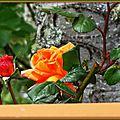 Roses oranges 300415