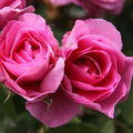 Rose Comte de Chambord-01