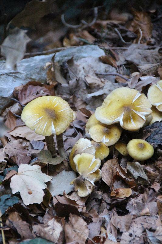 champignons_jaunes