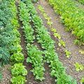 Salades, radis - 21 Juin 08
