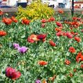 Poppies_a_blackpool