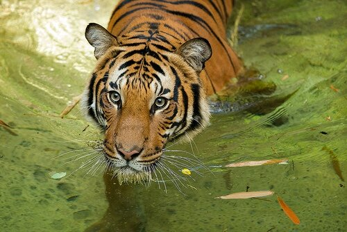 tigreriviere nage