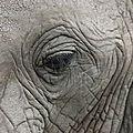 Oeil d'éléphant
