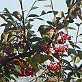 Fauvette à tête noire (femelle) (2)