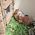 les trois lapines du Moulin