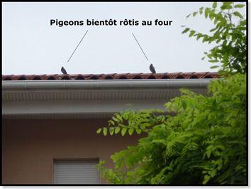les pigeons 2