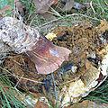 Boleuts pinicola f (2)