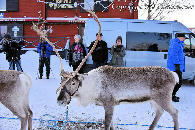 reindeer_rides_for_families_oulu_-35