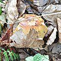 Russula foetens (1)