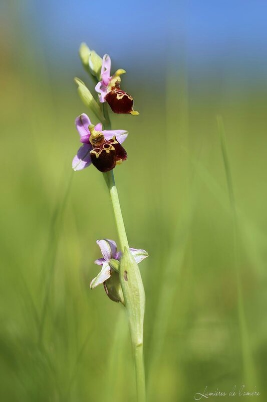 Orchis_Monts d'Or_20150507_7350