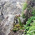 Joubarbe des montagnes, sempervivum montanum...