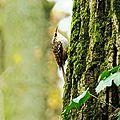 Grimpereau des jardins 5-1