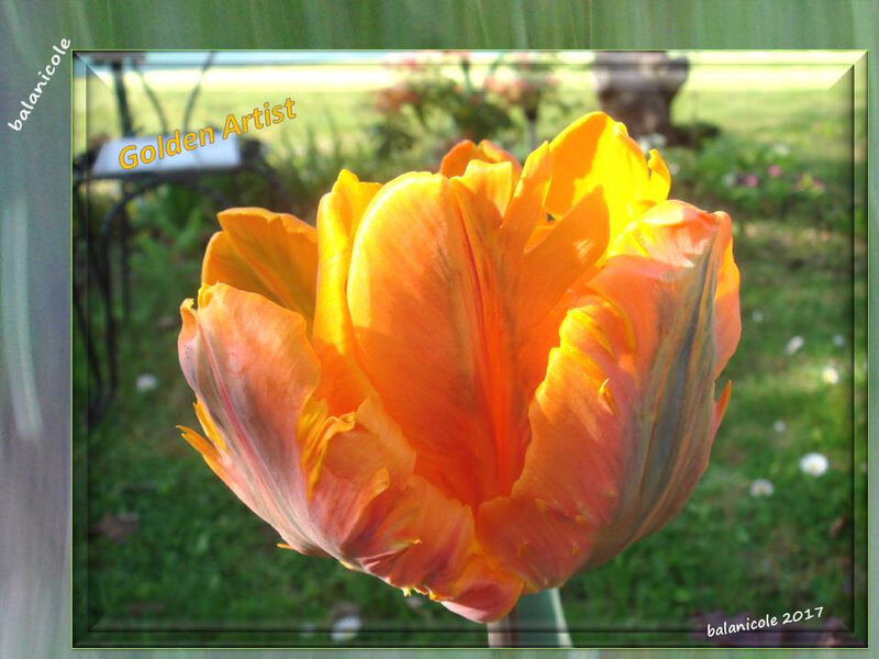 balanicole_2017_05_le printemps des tulipes_27_golden artist