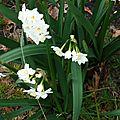 Narcisses 250216