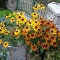 2009 09 10 Mes rudbeckias en fleurs
