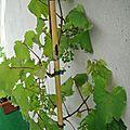Ma vigne