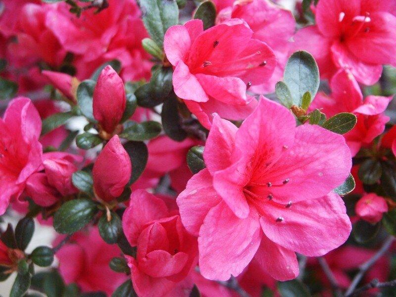 fleurs_Henri