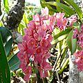 Rodriguezia lanceolata