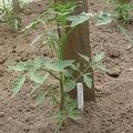 2008 05 13 Un plant de tomate F1 Maestria sous serre