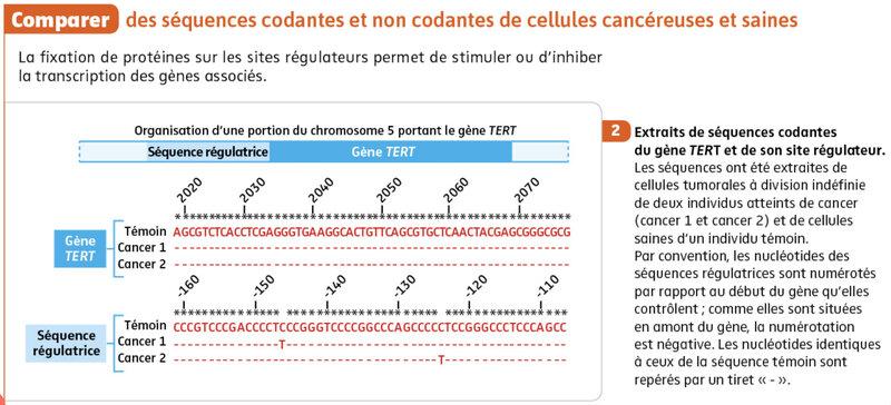 gène TERT et séquence régulatrice