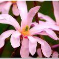Etoile de printemps... magnolia stellata...
