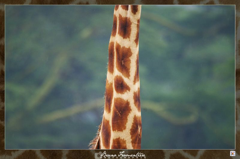 Saucisson de girafe 3