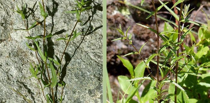 tiges et feuilles glabres ou très peu poilues