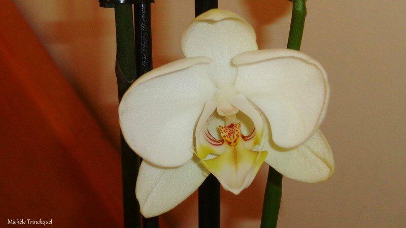 Grande Orchidée blanche 2102164