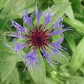 fleur de bleut