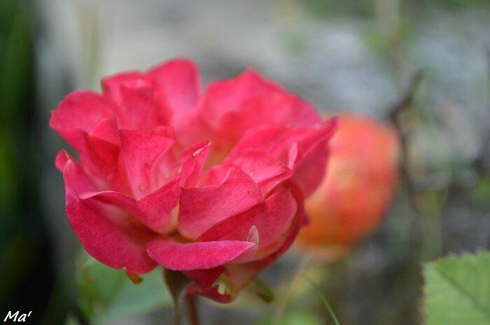 160605_rose_2