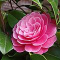 41-rose