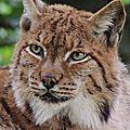 28 - Lynx