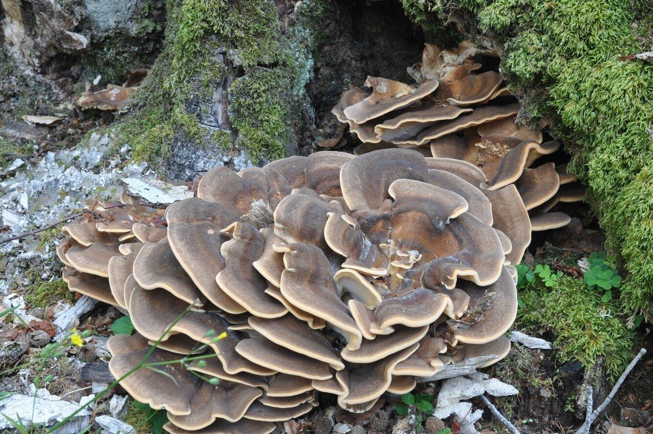 Meripilus giganteus (1)