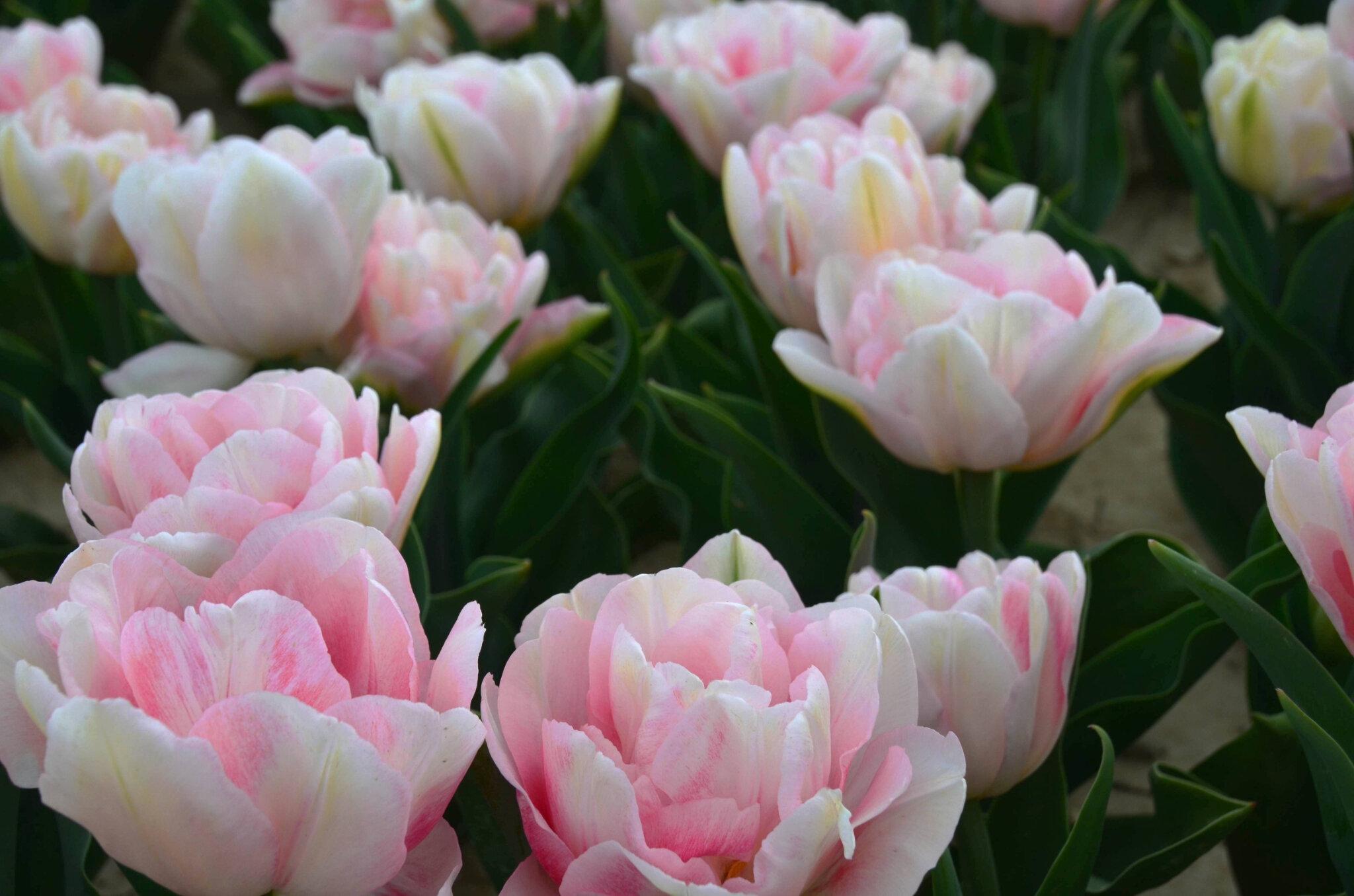 La Provence Un Autre Pays De La Tulipe Martine Passion Photos