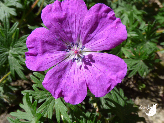 geranium sanguin 7