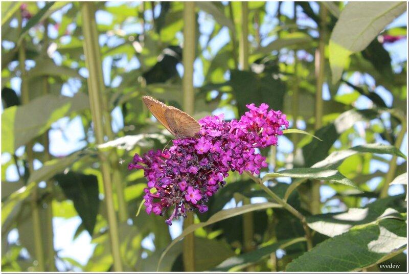 papillon enc