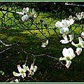 Fleurs de Tulipier 2104156
