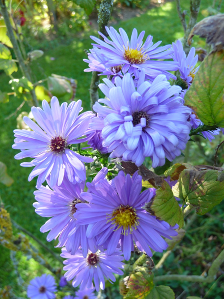 Asters 7
