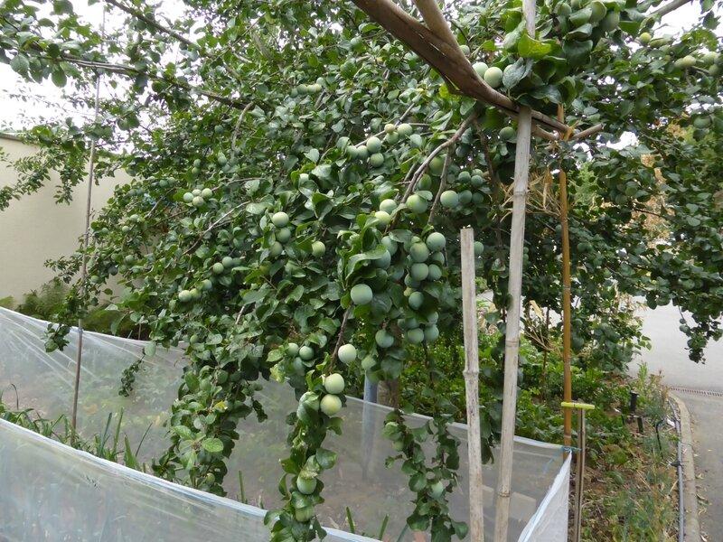 21-prunes, pruniers (3)