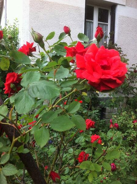 fleurs roses 7
