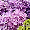 Des hortensias pour le jardin