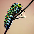 chenille machaon2
