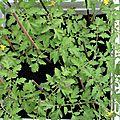 05-vue d'en haut - les plants de tomates
