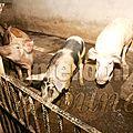 Elevage porcin: les agropoles mieux outillés