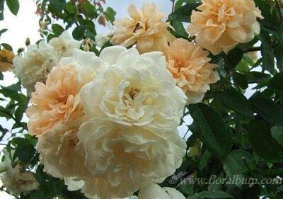 Rosa Alister stella gray_400